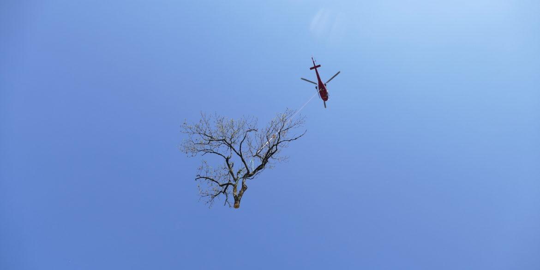 Abattage de 3 gros frênes atteints par la chalarose dans le Pré du Château à Romainmôtier